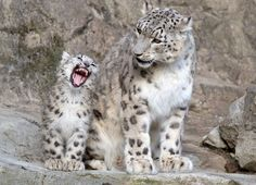 Eight-month-old Snow Leopard twins, 'Okara' and 'Orya', are practicing their big cat skills, at Zoo Zurich.