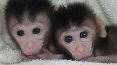 Disso Voce Sabia?: Na China nascem macacos Genéticamente Modificados, os seres humanos poderiam ser os próximos