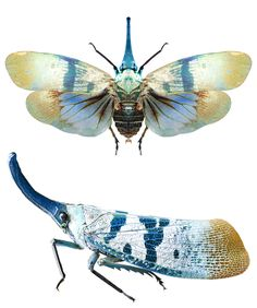 Pyrops heringi Pyrops is a genus of planthopper that occurs primarily in southeast Asia Cool Insects, Bugs And Insects, Leafhopper, Insect Photos, Cool Bugs, A Bug's Life, Beetle Bug, Beautiful Bugs, Insect Art