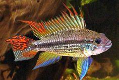 http://www.tropical-fish-keeping.com/wp-content/uploads/2015/06/Cockatoo-Dwarf-Cichlid.jpg