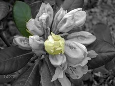 Rhododendron subtle Yellow by Andy  White on 500px