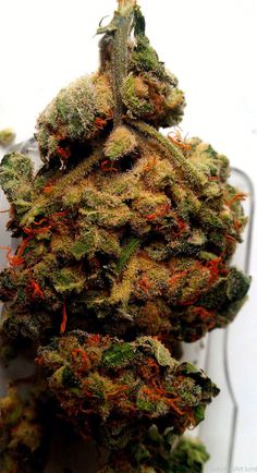 "#Weed ~ ""what a beauty!....think of Christmas, this lil' guy comes decorated!"""