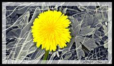 Dandelion anyone?