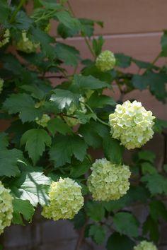 Breeze Garden Design London, based in Ealing, West London Viburnum Opulus Roseum, Garden Design London, Flower Farm, West London, Allotment, Stiles, Shades Of Green, Planting, Shrubs