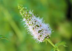 Menta  Mentha Edible flowers