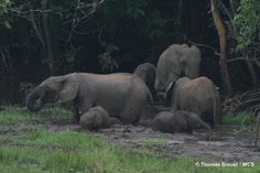 poaching of old forest elephants has wide impact