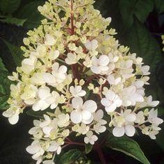 Syrenhortensia Hydrangea Paniculata 'Vanilla Fraise' blir 200-250 cm hög och blommar i juli-augusti. Blommorna är vita för att sedan gå mot rosa och senare på hösten purpurrött.