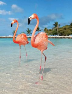 5 Must-Dos in Aruba. Flamingos are on Renaissance island hotel owned.  Access is $100 if not with hotel.