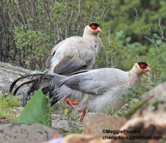 White-eared Pheasant