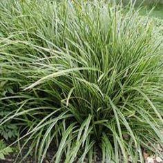 Carex morrowii ssp. foliosissima 'Icedance' - Teppich-Japan-Segge
