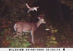 17 whitetail deer trail camera photos  [keep in mind, several of these involve bow hunters, and some have natural predators. the flying squirrel pictures were just too funny]