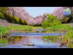 【動画】野川の流れとシダレザクラ(枝垂桜)/小金井新橋上流部[10秒-HD/720p]