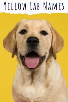 Yellow Lab Names – 250 Awesome Ideas For Naming Your Pup