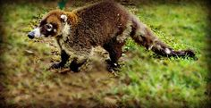 White-nosed coati in our grounds