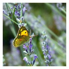 Butterfly, lavander, mor, purple, lavanta, kelebek