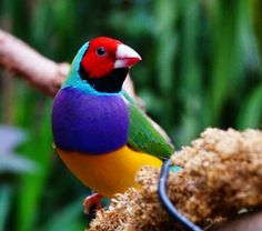 Gouldian Finch Pictures