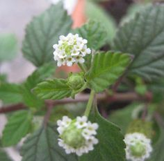 Lippia Dulcis, Aztec Sweet Herb, sweetens like Stevia, but has a grat minty taste of its own, I really dont like the taste of stevia, and it's difficult to grow, this plant is a frost tender perennial you an takle inside in winter and it will grow small round white flowers for you to sweenten your lift with. Plants in my organic nursery on the farm, seeds and plants by post from my webshop at www.fuglebjerggaa..