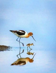 American Avocet. Beautiful. Would see them sometimes near the airport.