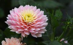 11_chrysanthemum
