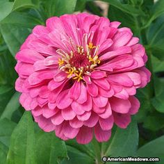 Sweet, pastel-pink blooms add charm to the summer garden and are a butterfly magnet. Cutting blooms actually promotes flowers to come up in their place, so this pink beauty is perfect for arrangements! Lovely on its own or paired with a white Zinnia variety. Annual.