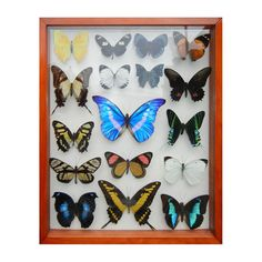 1stdibs - Butterfly Taxidermy frpm Worldwide Butterflies explore items from 1,700  global dealers at 1stdibs.com