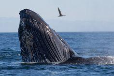 Humpback whale, Andenes, Vesterålen, Lofoten, Nordland, Norway