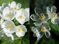 Diphylleia Grayi otherwise known as the Skeleton flower is the stuff of fairy tales.