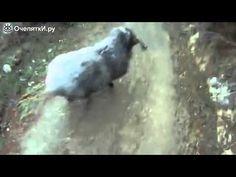 Встреча двух баранов