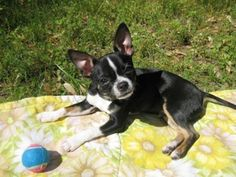 Boston terrier chihuahua dogs on Pinterest | Chihuahua Mix, Terriers