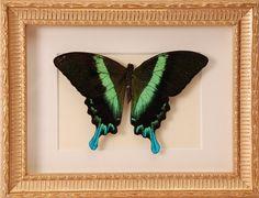 Opgezette vlinder in oude lijst - V0103