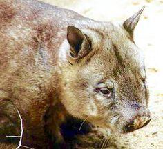 Wombat northern northern nosed northern wombat hairy