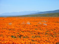 California Poppies...that orange is breathtaking...