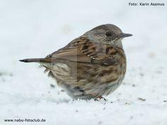 Wie eine gefiederte Maus - Die Heckenbraunelle im Wintervogel-Porträt - https://www.nabu.de/tiere-und-pflanzen/aktionen-und-projekte/stunde-der-wintervoegel/vogelportraets/13045.html
