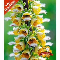 Digitalis 'Gelber Herold', 2 Pflanzen - BALDUR-Garten GmbH