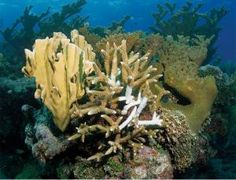 Bacterial suspects identified in Caribbean coral deaths - environment - 18 June 2014 - New Scientist