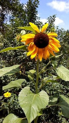 Lynn had a beautiful sunflower in her gorgeous gardens this year. On this day the birds were singing as the sunflower swayed in the gentle summer breeze and the clouds rolled by in the blue, blue sky. Simply splendid! More connections to nature at www.stowefarm.org