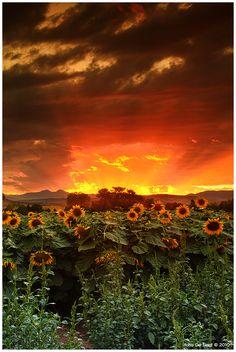 August Sunflower Skies by `kkart