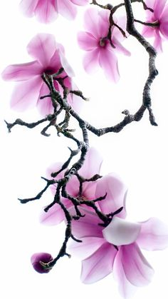 Apple iPhone 6 wallpaper with Purple Magnolia Flowers #iphone6wallpapers