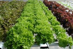 Growing plants using home hydroponics systems is becoming more and more popular as a side branch of backyard gardening.