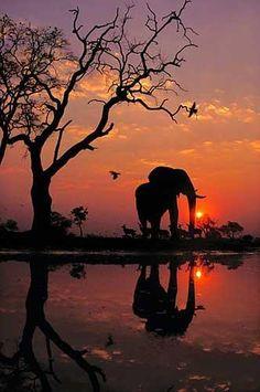 Elefante all'alba in Botswana (1989)