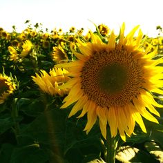 S u n f l o w e r s  What a perfectly gorgeous flower, God's nature & beauty.