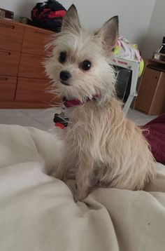 Maizy Maybe Chihuahua Wire Haired Terrier Mix Looks Like Ginger