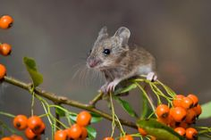 Beautiful Wood Mouse picture by David Chapman - http://www.davidchapman.org.uk/