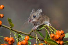 Beautiful Wood Mouse picture by David Chapman - http://www.davidchapman.org.uk/