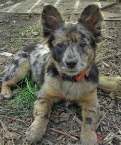 See more HERE: https://www.sunfrog.com/Pets/LOVE-German-Shepherd-Dog-Black-Guys.html?53507  German shepherd crossed with an Australian shepherd. My dream dog!