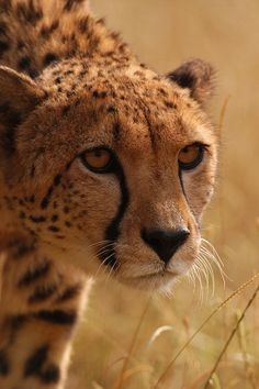 Cheetah, Stalking by RyanTaylor1986 on Flickr.