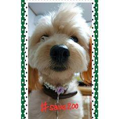 おはよーございます☺ 今日もめっちゃ寒いですね😣⛄❄ お友達の投稿に続き❗ [山口県2000の野犬を救え!プロジェクト] に賛同します❗ ☆ ☆ #save200  #殺処分反対 #殺処分ゼロ #ポメプー#愛犬#mix犬#犬大好き#トイプードル#ポメラニアン#ドッグ#dog#モフモフ#ふわふわ#親バカ#親バカ連合#癒し#溺愛#犬の居る生活#全国ポメプー会