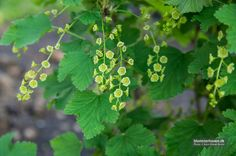 Flowers of currants – White Holland from www.blomsterhaven.dk