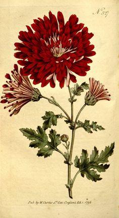 29 ideas vintage art floral flower for 2019 Art Vintage, Vintage Botanical Prints, Botanical Drawings, Antique Prints, Botanical Illustration, Vintage Modern, Vintage Poster, Vintage Flower Prints, Art Floral
