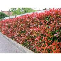 Red Robin, wintergroene heg